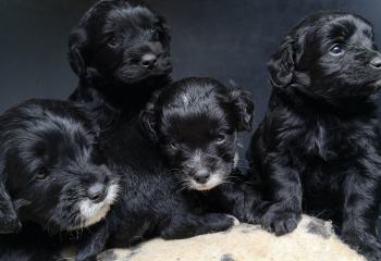 Midnight oodle puppies